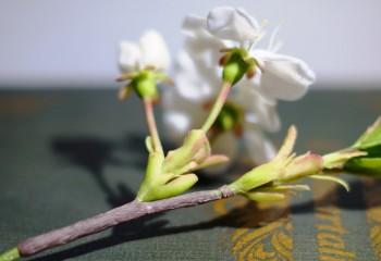 Ветка вишни из полимерной глины: мастер-класс